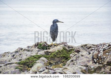 Pacific Reef Egret on the rock seaside aisia beach