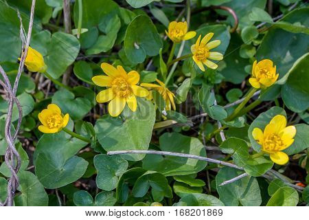 Yellow Lesser Celandine or Ficaria verna flowering in spring background