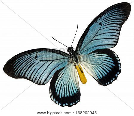 A blue black butterfly on the white background