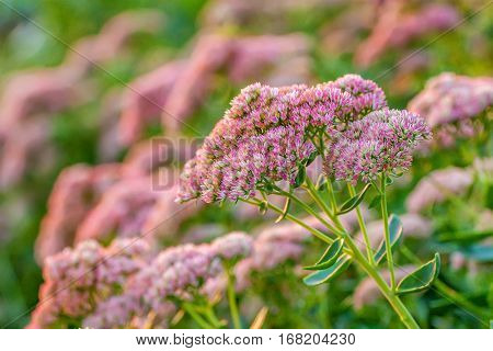 Sedum spectabile pink and white flowers. Inflorescence of plant Hylotelephium spectabile, ice plant, showy stonecrop and butterfly stonecrop of Crassulaceae family