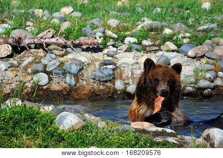 Bear Eats Salmon