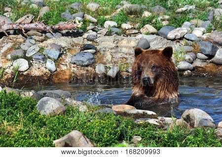 Young grizzly bear sits submerged in pool of water surrounded by rocks. He is looking at camera.
