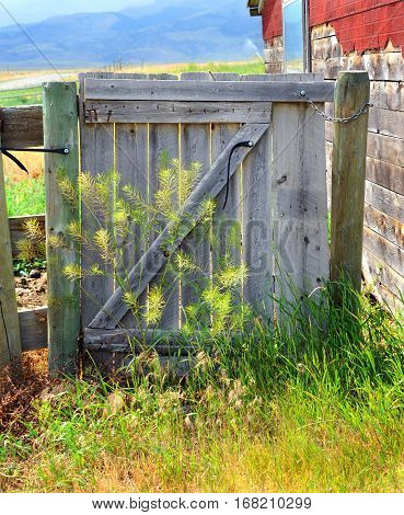 Rustic wooden gate is overgrown with weeds. It sits besides old building with red shingles.