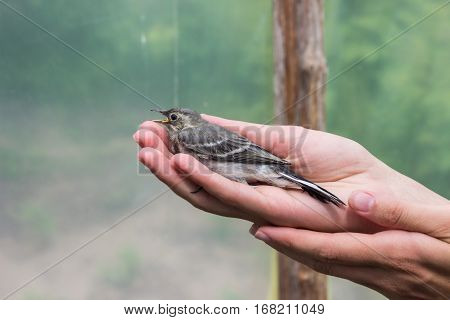 Beautiful tree pipit bird with open beak  in woman's hands