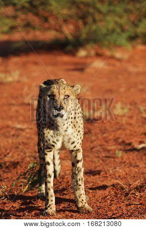 Wild Cheetah in the Kalahari desert at sunset. African Savannah Namibia. Warm evening light