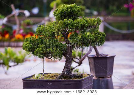 Bonsai pine trees in a pot in a park of flowers in Dalat, Vietnam