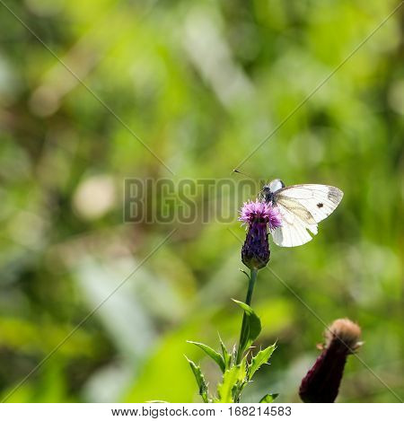 A Thymian ante bläuling, a smal butterfly.