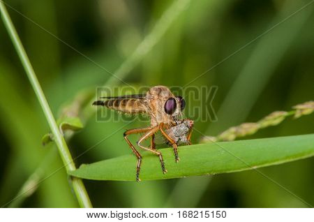 Robber fly were eating on green limb