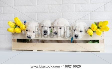 four golden retriever puppies in a box with yellow tulips