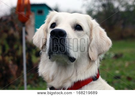 white dog Golden Retriever with a black nose and black eyes and a red collar stares
