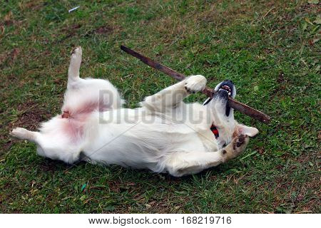 dog Golden Retriever lying on the green grass at the back with a stick