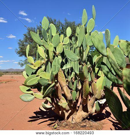 Beautiful tropical cactus in Namib desert Namibia Africa