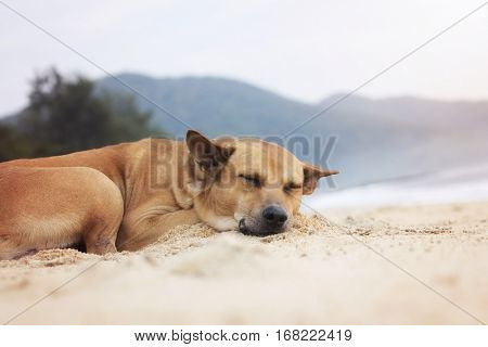 beach dog asleep