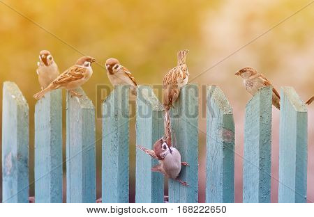 birds sparrows noisily playing on an old wooden fence
