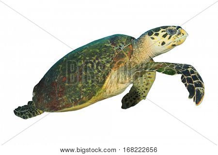 Turtle isolated. Hawksbill Turtle white background. Sea Turtle