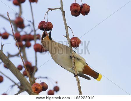 bird the Waxwing eats frozen red apples in winter
