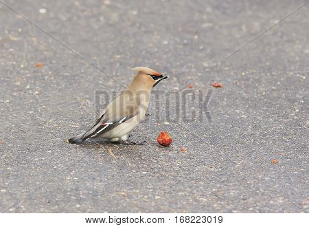 bird waxwings eating apples on the pavement in the Park in the winter