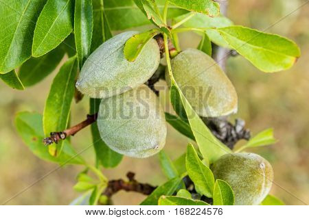 closeup cluster of green almonds growing on branch