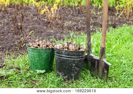 Freshly dug potatoes in metal bucket and shovel on the field in sunny day