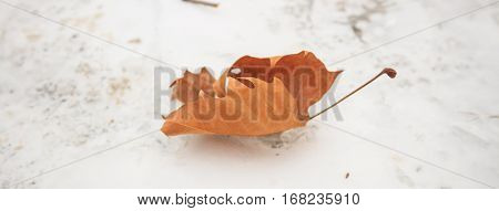 Dry maple leaf on snow background