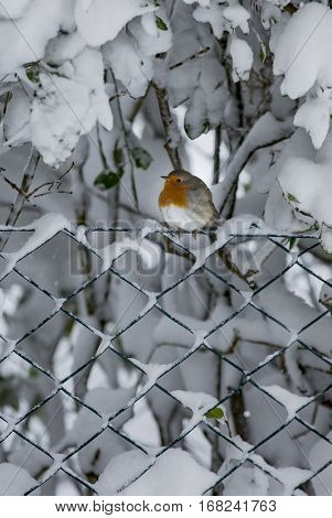 Robin during winter