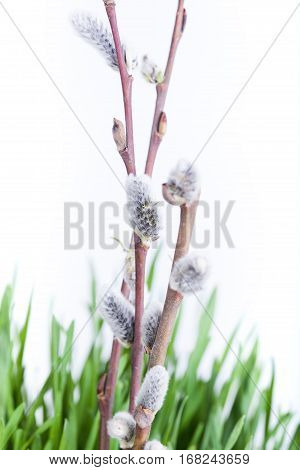 Branch Of Pussy-willow In Grass