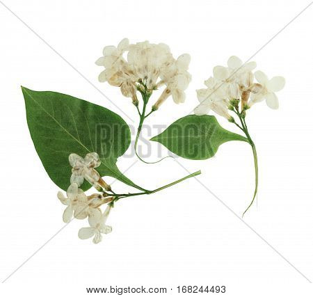 Pressed and dried lilac flowers isolated on white background. For use in scrapbooking pressed floristry (oshibana) or herbarium.