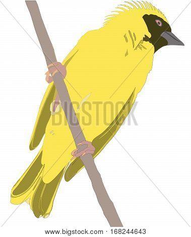 Weaver Bird Sitting On A Branch