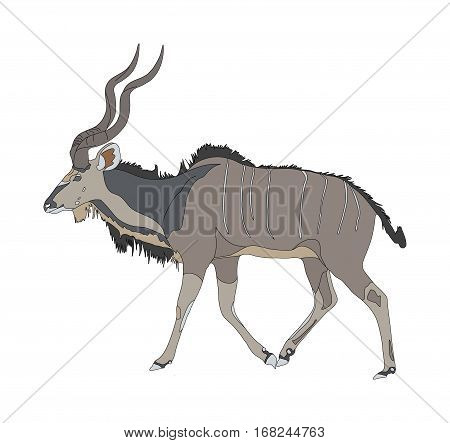 Kudu Seen From Side