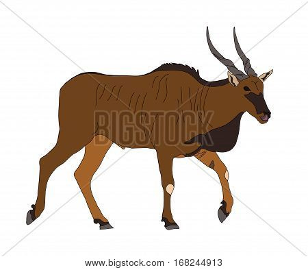 Common Eland - Antelope - Seen From Side, Walking, Head Forward
