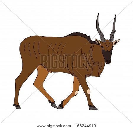 Common Eland - Antelope - Seen From Side, Walking