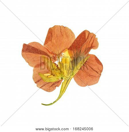 Pressed and dried delicate orange flowers nasturtium (tropaeolum). Isolated on white background. For use in scrapbooking floristry (oshibana) or herbarium.