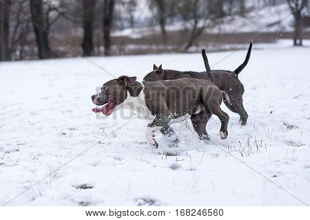 two blue Staffordshire terrier playing in the snow in winter in a park