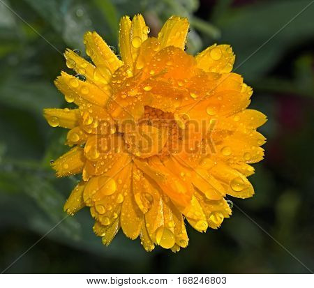 Yellow calendula flower in the garden in summer
