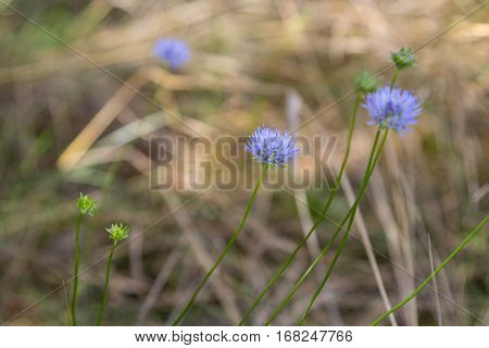 Blue cornflowers on a background of autumnal pine forests.