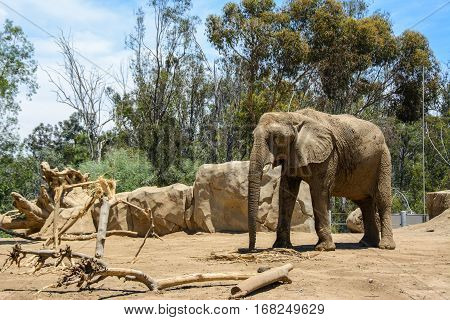 Large African elephant in a zoo aviary