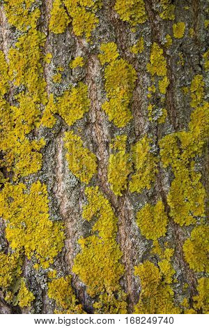 Yellow tree lichens on a ash tree bark. The pattern formed by the contours of orange lichen on tree bark. Natural background.