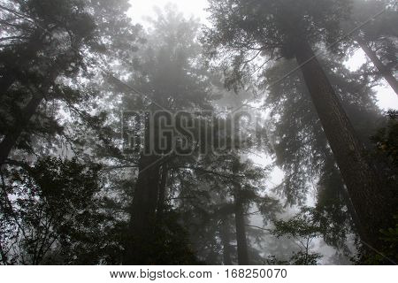 Crowns of trees in the Redwood National Park, California USA