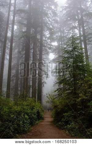 Trail in the forest, Redwood National Park, California USA