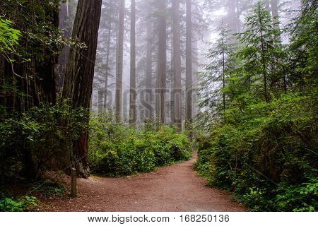 Trail in the forest Redwood National Park, California USA