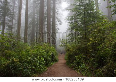 Path in the forest Redwood National Park, California USA