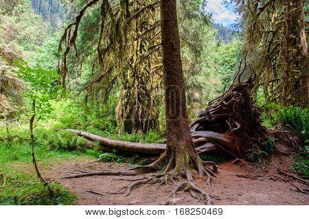 Amazing tree roots, Hoh Rain Forest, Washington USA