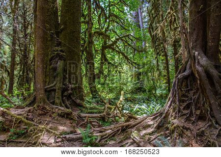Amazing tree roots, Hoh Rain forest, Olympic National Park, Washington USA