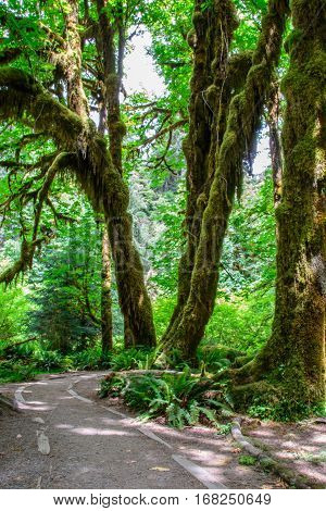 Trail in the Hoh Rainforest, Olympic National Park, Washington USA