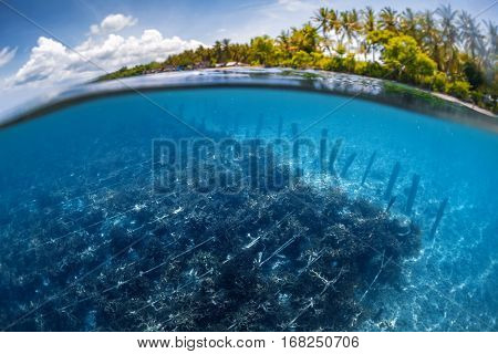 Underwater split shot of the sea weed garden on the island of Nusa Penida, Indonesia