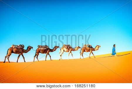 Camel caravan going through the sand dunes in the Sahara desert Marocco. Camel in desert concept.