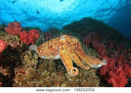 Cuttlefish sepia fish