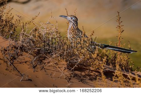 Greater Roadrunner Geococcyx Californianus