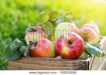 Apples In Wooden Crate In Garden