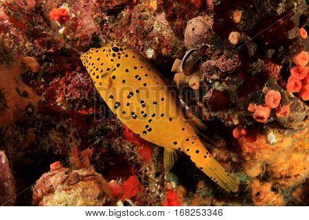 Yellow boxfish tropical fish